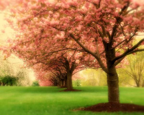 Cherry Blossom Trees Poster featuring the photograph Trees In A Row by Angie Tirado