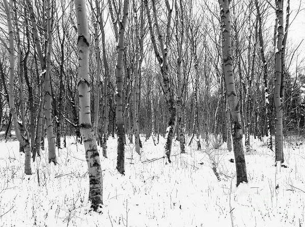 Winter Poster featuring the photograph Trees In Winter Snow, Black And White by Joseph Gaul