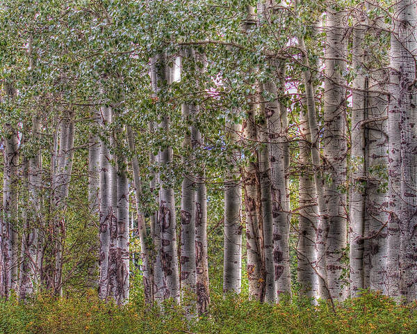 Trembling Aspens Poster featuring the photograph Trembling Aspens by Naman Imagery
