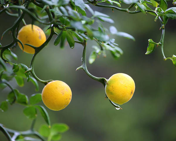 Trifoliate Orange Poster featuring the photograph Trifoliate Orange by Inho Kang