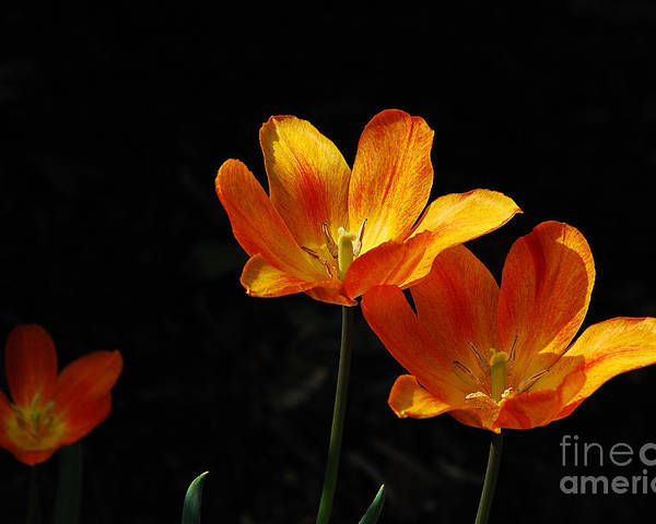 Tulips Poster featuring the photograph Triples by Lois Bryan