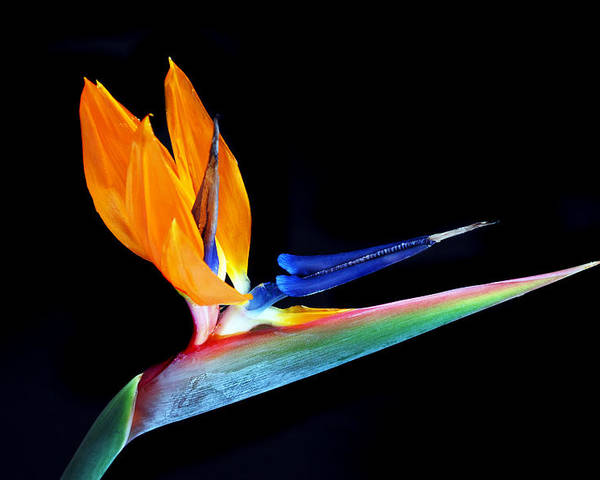 Bird Of Paradise Flower Poster featuring the photograph Tropical Beauty by Terence Davis