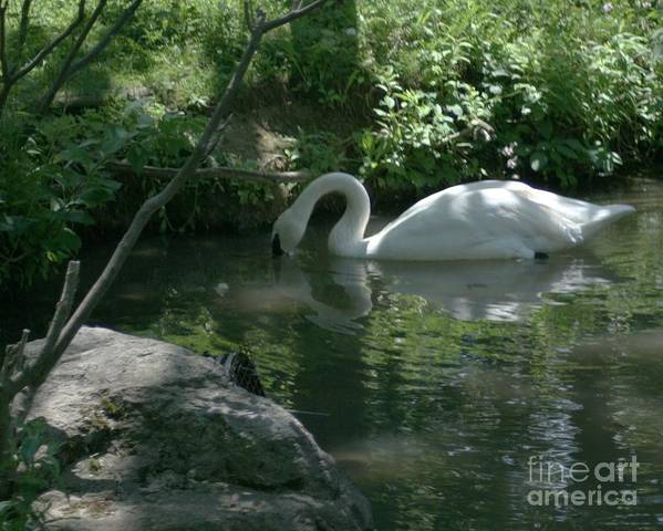 Trumpeter Swan Poster featuring the photograph Trumpeter Swan by Dawn Downour