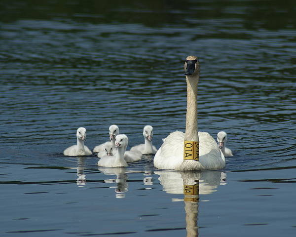 Nature Poster featuring the photograph Trumpeter Swan With Cygnets by Ron Read