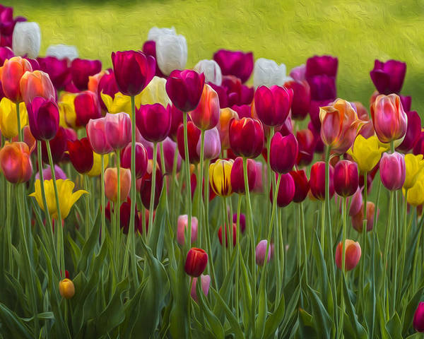 Tulip Poster featuring the photograph Tulip Bed 0117op by Karen Celella