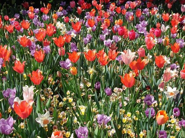 Landscape Poster featuring the photograph Tulip Delight 2 by Shiana Canatella
