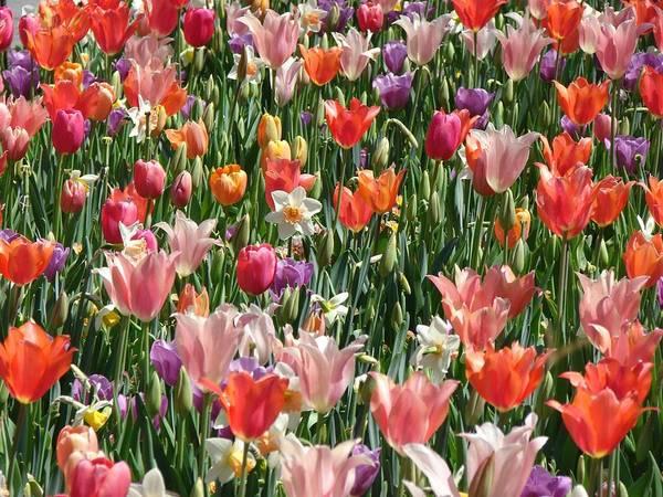 Landscape Poster featuring the photograph Tulip Delight 4 by Shiana Canatella