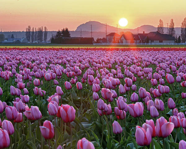Horizontal Poster featuring the photograph Tulip Field At Sunset by Davidnguyenphotos