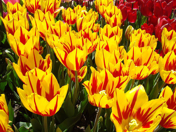 Tulip Poster featuring the photograph Tulip Flowers Festival Yellow Red Art Prints Tulips by Baslee Troutman