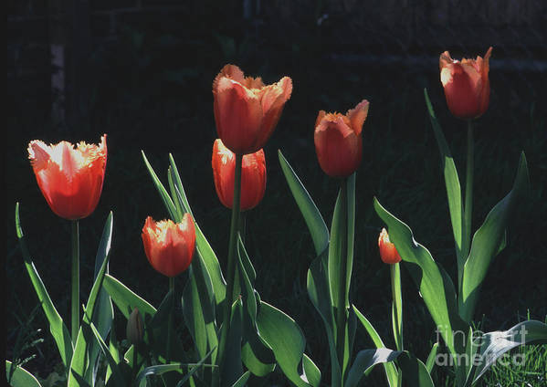 Dutch Poster featuring the photograph Tulip Red Flair by Tom Wurl