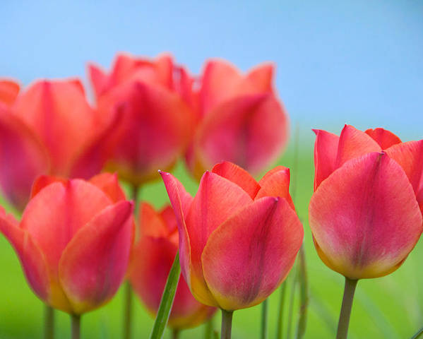 Abstract Poster featuring the photograph Tulips Close Up by Louis Jawitz