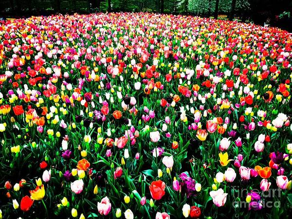Tulips Poster featuring the photograph Tulips by HELGE Art Gallery