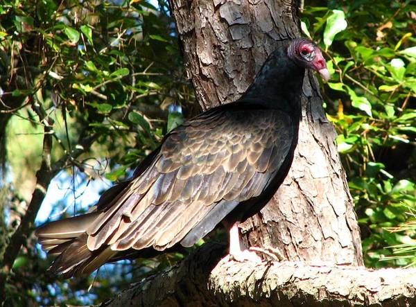 Turkey Buzzard Poster featuring the photograph Turkey Buzzard by J M Farris Photography