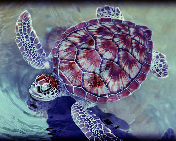 Cayman Islands Poster featuring the photograph Turtle by Ariane Moshayedi