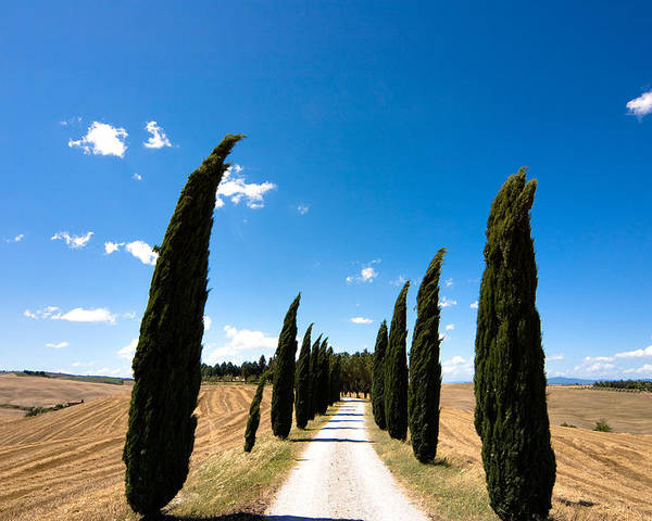 Tuscany Poster featuring the photograph Tuscan Cypress Landscape by Mathew Lodge