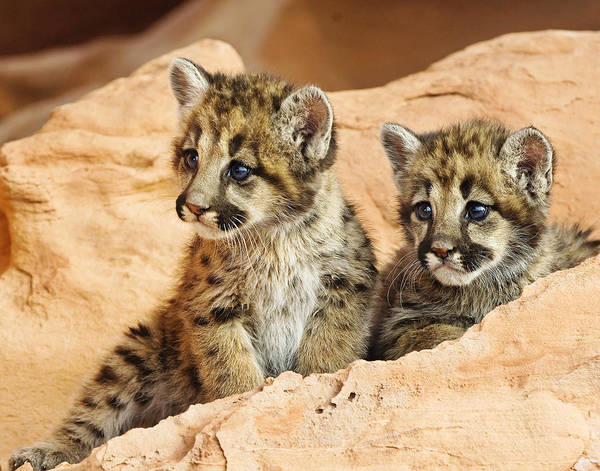 Cougar Poster featuring the photograph Twin Cougar Kittens by Melody Watson