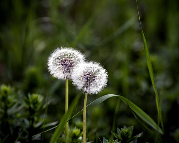 Abstract Poster featuring the photograph Twin Dandelions by Adrian Bud