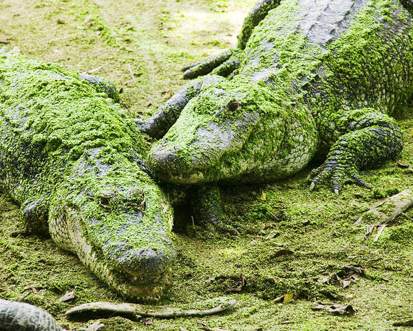 Two Poster featuring the photograph Two Alligators by Garry Gay