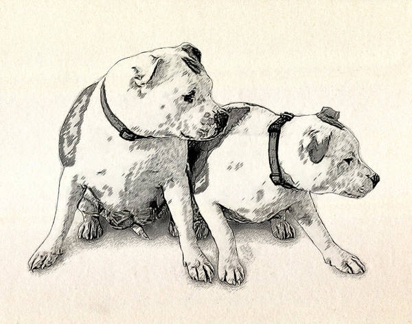Staffordshire Bull Terrier Poster featuring the drawing Two Bull Terriers by Michael Tompsett