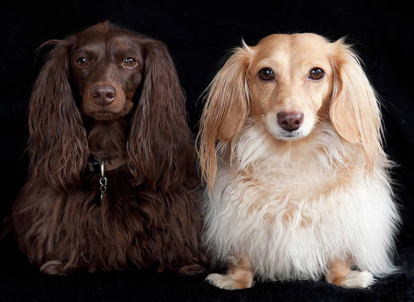 Horizontal Poster featuring the photograph Two Dachshunds by Doxieone Photography