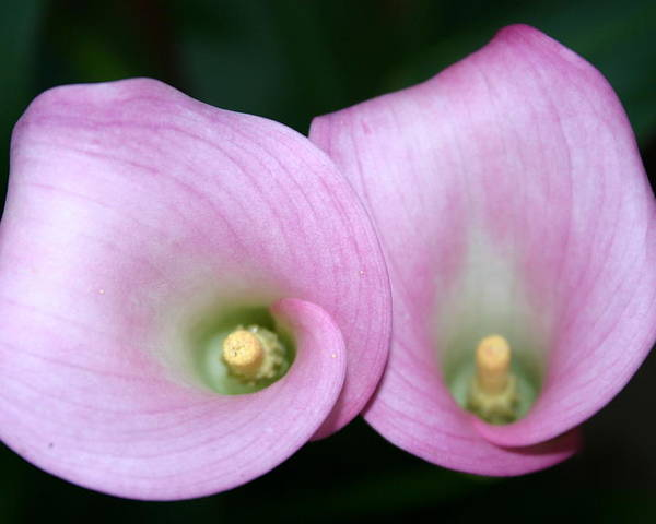 Flowers Poster featuring the photograph Two For You by Kevin Dunham