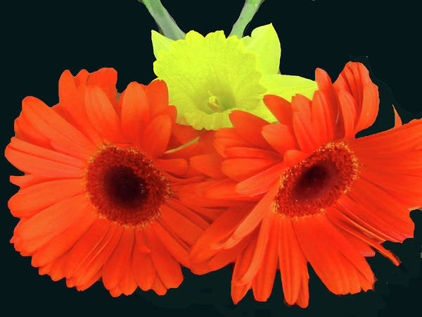Daffodil Poster featuring the photograph Two Gerbers And Daffodil by Vijay Sharon Govender