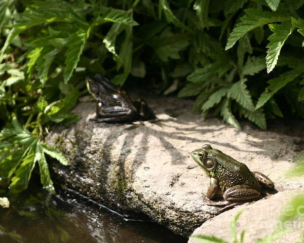 Two Green Frogs Poster featuring the photograph Two Green Frogs by B Rossitto