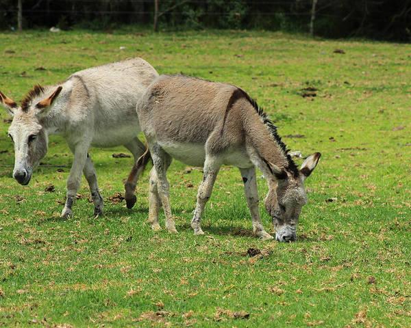 Jerusalem Donkey Poster featuring the photograph Two Jerusalem Donkeys In A Field by Robert Hamm