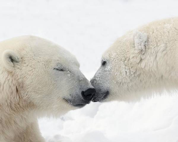 Affection Poster featuring the photograph Two Polar Bears Ursus Maritimus by Richard Wear