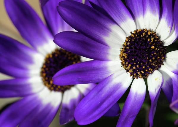 Flower Poster featuring the photograph Two Purple N White Daisies by Sabrina L Ryan