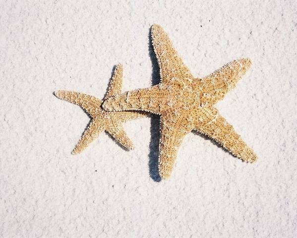 Two Poster featuring the photograph Two Starfish On The White Sand by Holly Eads