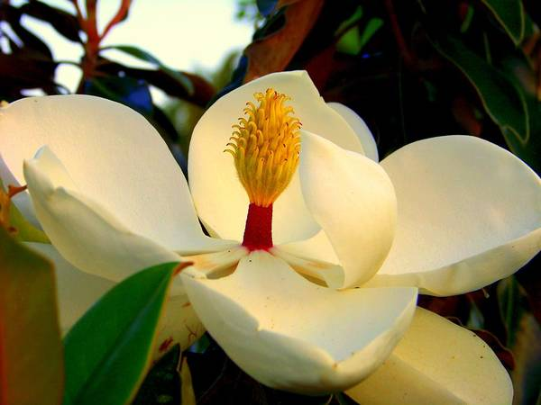 Magnolia Flowers Poster featuring the photograph Unfolding Beauty by Karen Wiles
