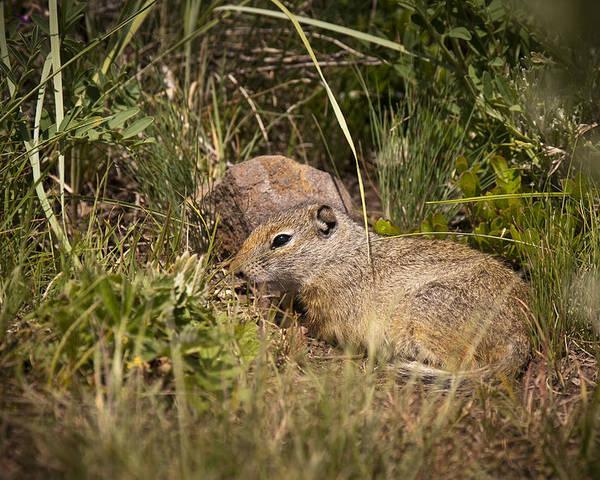 Unita Ground Squirrel Poster featuring the photograph Unita Ground Squirrel by Chad Davis