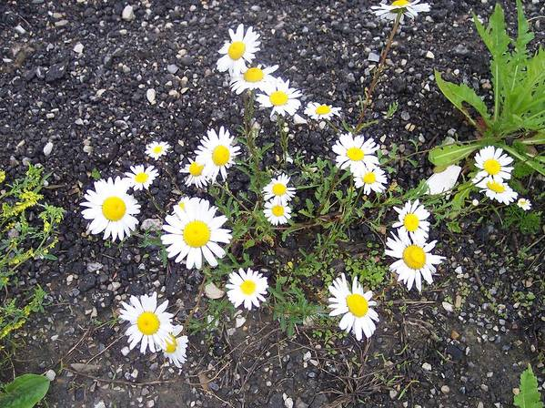 Daisy Nature Asphalt Flowers Poster featuring the photograph Up From The Asphalt I by Anna Villarreal Garbis