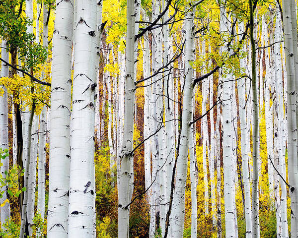 Aspen Trees Poster featuring the photograph Uphill by The Forests Edge Photography - Diane Sandoval