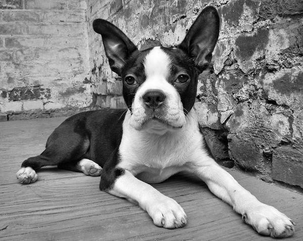 Boston Terrier Poster featuring the photograph Urban Hound by Crystal Rolfe