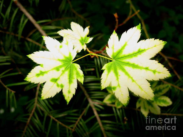 Plant Poster featuring the photograph Variegated Vine Maple by PJ Cloud