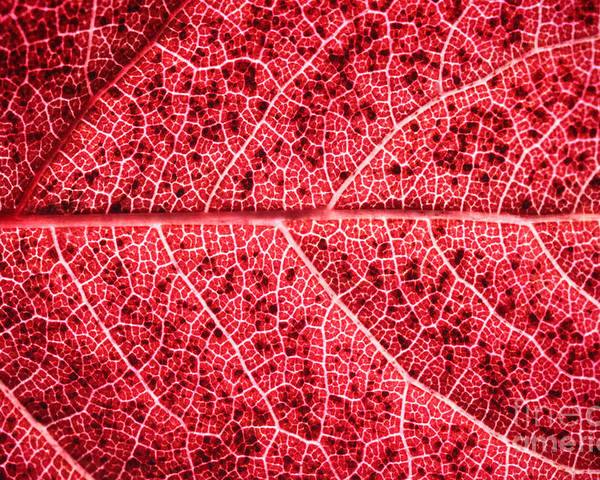 ryankellyphotography@gmail.com Poster featuring the photograph Veins In A Red Autumn Leaf by Ryan Kelly