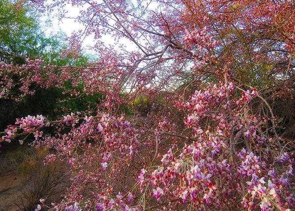 Arizona Poster featuring the photograph Vekol Wash Desert Ironwood In Bloom by Judy Kennedy