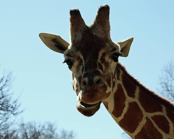 Maryland Poster featuring the photograph Very Tall Giraffe by Ronald Reid