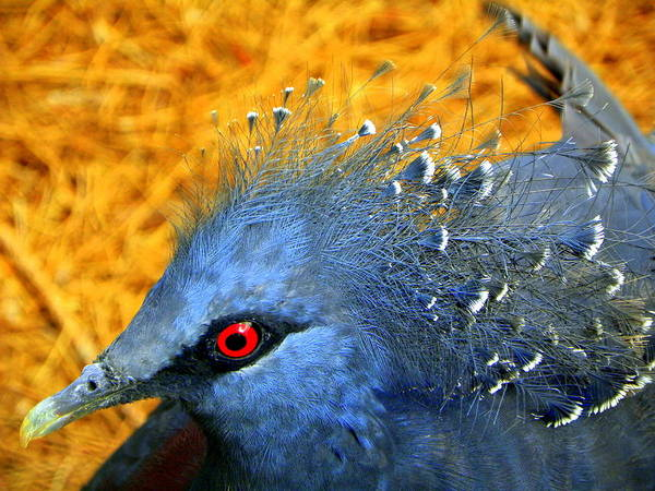 Bird Poster featuring the photograph Victoria Crowned Pigeon Close Up by Terri Mills
