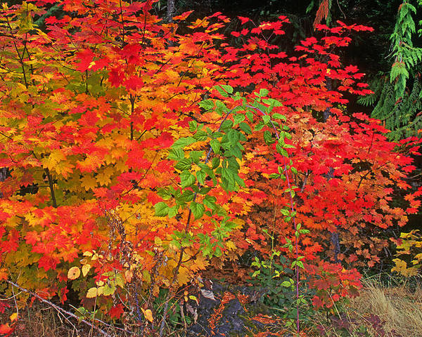 Autumn Poster featuring the photograph Vine Maple In Oregon by Buddy Mays