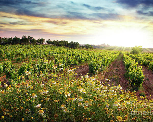 Agriculture Poster featuring the photograph Vineyard by Carlos Caetano