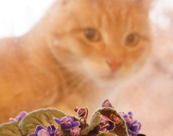 Orange Tabby Cat Poster featuring the digital art Violets with Cat by Jana Russon
