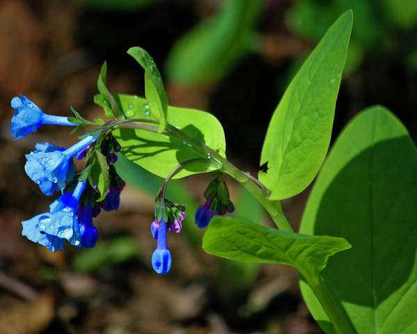 Virginia Poster featuring the photograph Virginia Bluebells by Teresa Mucha
