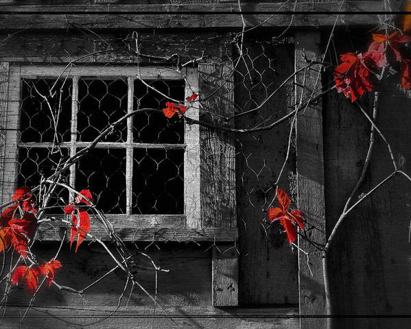 Window Poster featuring the photograph Virginia Creeper by Thomas Schoeller