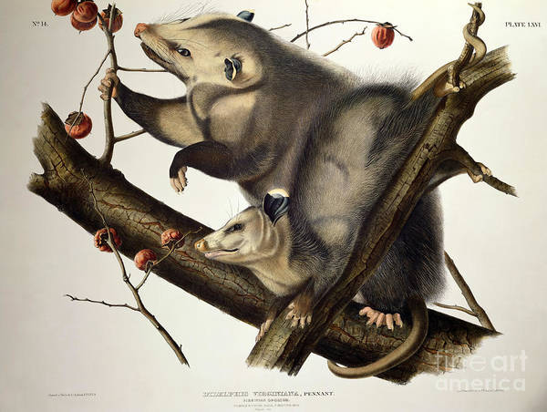 Virginian Opossum Poster featuring the drawing Virginian Opossum by John James Audubon