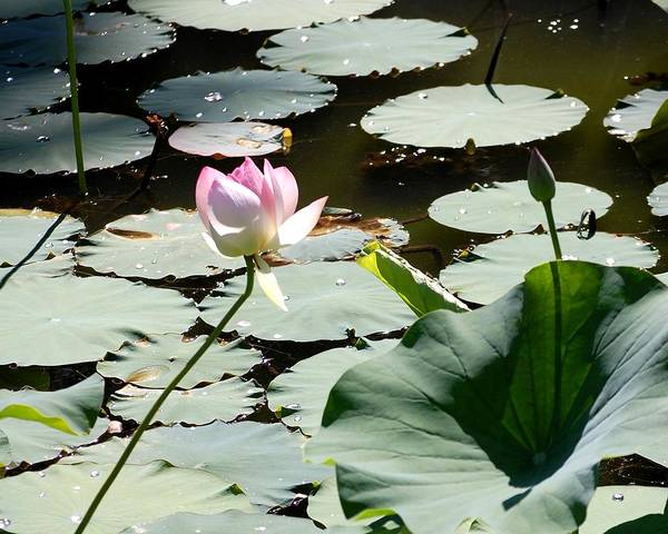 Floral Poster featuring the photograph Visit To Lilly Pond by David Lane