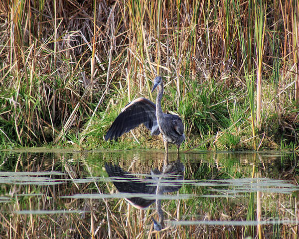 Canadian Marshland Poster featuring the photograph Wading In Heron by Cathy Beharriell