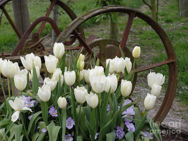 White Poster featuring the photograph Wagon Wheel Tulips by Louise Magno